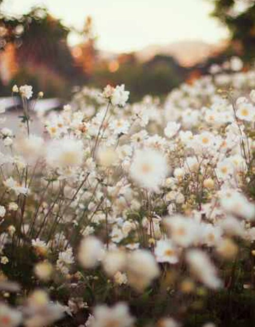 cool, sun, chamomile and flowers
