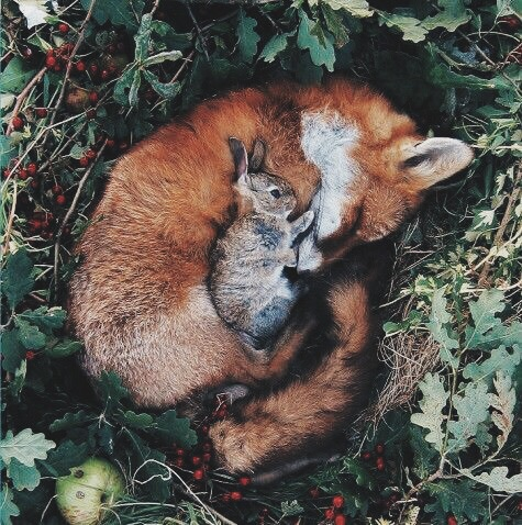 animals, bunny, filtered, forest, fox