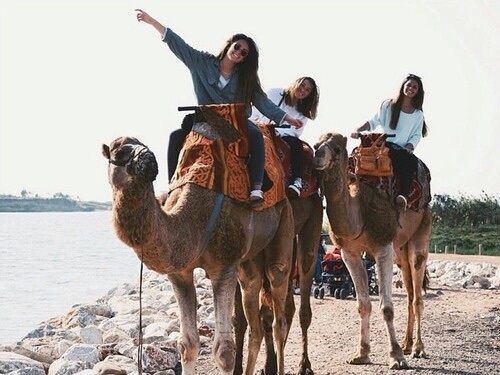 camel, desert, friends, sahara, travel
