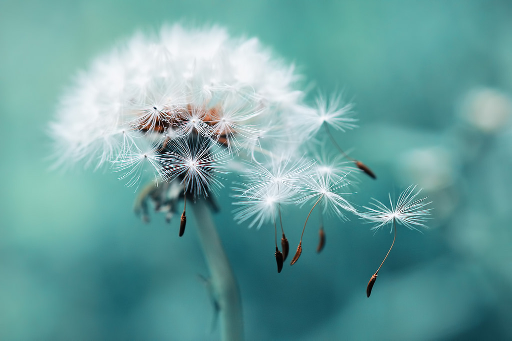 dandelion, landscape, nature, photography, scenery
